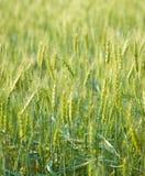 Vert, ressort, champ de blé avec le foyer sélectif mou Images stock