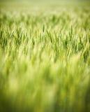 Vert, ressort, champ de blé avec le foyer sélectif mou Photographie stock libre de droits