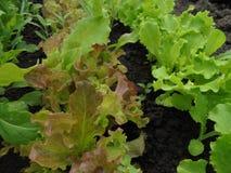 vert savoureux frais et laitue jaune-rouge s'élevant dans la terre en serre chaude au printemps image stock