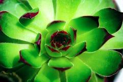 Vert succulent photo stock