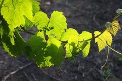 Vert sur la vigne Images stock