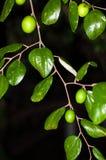 Vert trempez les fumiers fruit et feuilles de jujube photographie stock libre de droits
