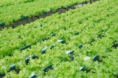Vert végétal Cos Lettuce Salad Leaves de ferme Images libres de droits