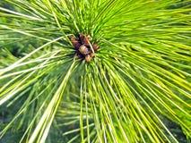 Vertak me een naaldboom met bossen van vergankelijke heldergroene naalden met kleine kegels stock foto