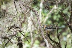 Vertakt de kleine brutale vogel van Fringilla coelebs maderensis zich, kleurrijke madeiran vink op boom stock afbeeldingen