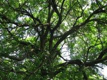 Vertakt hout in Carska-bara royalty-vrije stock foto's