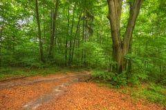 Vertakt voetpad binnen bos royalty-vrije stock foto's