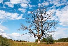 Vertakte dode boom tegen een schilderachtige bewolkte hemel Royalty-vrije Stock Foto