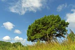 Vertakte pijnboom op een achtergrond van blauwe hemel Stock Foto