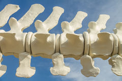 Vertebrae of Blue Whale Skeleton Stock Image