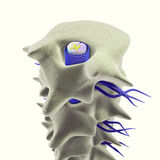 Vertebrae with spinal cord Stock Photos