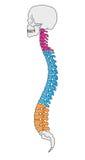 vertebral anatomikolonn Arkivbild