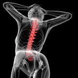 Vertebral column Stock Photography