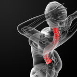 Vertebral column Royalty Free Stock Photography