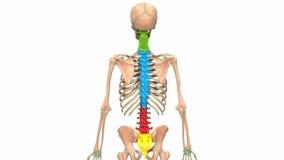 Vertebral Column of Human Skeleton System Anatomy Animation Concept