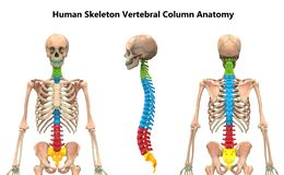 Free Vertebral Column Of Human Skeleton System Anatomy Anterior, Posterior And Lateral View Royalty Free Stock Photos - 161171218