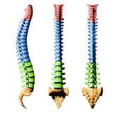 Vertebre della spina dorsale - parti di colore Immagini Stock