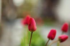 Vertegenwoordigt volkomen de lente en zomers, tulpenbloem, F Stock Afbeeldingen