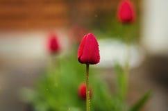 Vertegenwoordigt volkomen de lente en zomers, tulpenbloem, F Stock Foto's
