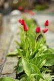 Vertegenwoordigt volkomen de lente en zomers, tulpenbloem, F Royalty-vrije Stock Afbeeldingen