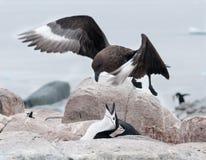 Verteidigungsnest erwachsenen Chinstrap-Pinguins von schwebender erwachsener Brown-Raubmöwe, nützliche Insel, antarktische Halbin stockbild