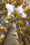 Verticaal Aspen Canopy royalty-vrije stock afbeeldingen