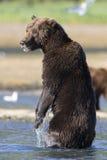 Verticaal Beeld van zijaanzicht van bruine beer op achterbenen royalty-vrije stock fotografie