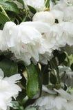 Verticaal van de lentepioenen wordt geschoten na regen die Verse de lentebloemen en dalingen van water op het stock fotografie