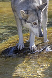 Verticaal van Wolf In Water Looking Sideways stock fotografie