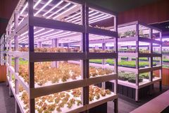Vertical agriculture Plant factory. Led plant growth lamp used in Facility agriculture,Vertical agriculture,Indoor planting,Plant factory.Mimicking sunlight stock photo