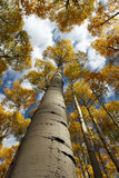 Vertical Aspen Canopy. Vertical canopy shot of golden aspen trees in the fall shooting upwards from the trunk royalty free stock images