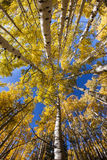 Vertical Aspen Trees Stock Photography