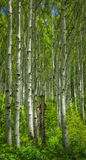 Vertical Aspens. Groove of green aspen trees with a lush green meadow in the Wasatch mountains of Utah USA Stock Photography