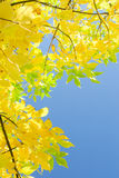 Vertical autumn background with yellow foliage over blue sky Stock Photography