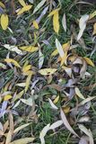 Texture for background autumn foliage of willow. Vertical autumnal natural texture for background. Autumn foliage of willow. Yellow and brown leaves create a stock photography