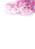 Vertical background with Beautiful pink cherry blossom, Sakura flowers on white Stock Photography