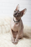 Vertical background with Donsphinx cat in collar. Light gray vertical background with Donsphinx cat in collar with diamonds Stock Photography