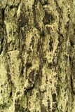 Vertical background: mossy bark Royalty Free Stock Photo