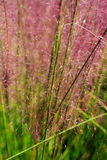 Vertical Background Ornamental Grass Spikes Royalty Free Stock Photo