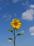 Vertical background with sunflower Royalty Free Stock Photo