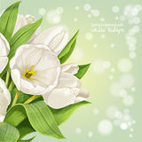 Vertical background with white tulips Royalty Free Stock Photography