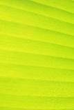 Vertical banana leaf texture Royalty Free Stock Photo