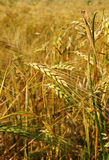 Vertical of barley field Royalty Free Stock Image