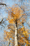 Vertical blurred beech trunk and focused colorful autumn treetop Stock Photo