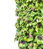 Vertical Border of clover, isolated Royalty Free Stock Images