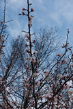 Vertical branch of apricot with buds and pinkish flowers Royalty Free Stock Photography