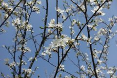 Vertical branches of blossoming Prunus cerasifera against blue sky. Vertical branches of blossoming Prunus cerasifera tree against blue sky stock photos