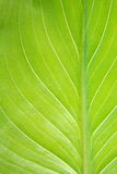 Vertical calla leaf detail. Royalty Free Stock Photo