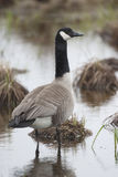 Vertical of Canada Goose, Branta canadensis Stock Photos