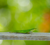 Vertical Carolina anole. Green lizard walking down wood post, Fort Myers, Florida stock photography